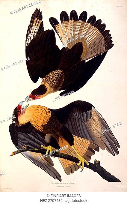 The northern crested caracara. From The Birds of America, 1827-1838. Creator: Audubon, John James (1785-1851)