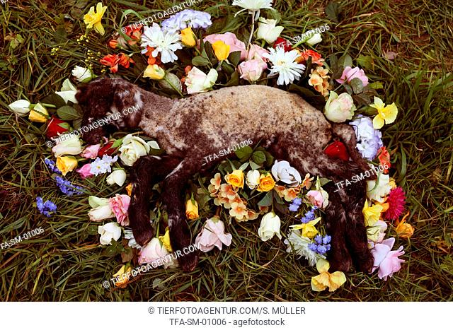 deceased lamb