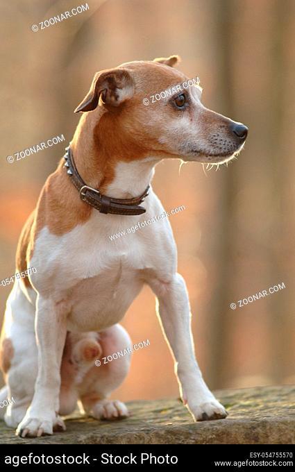 Jack Russel-Terrier, Ruede im Gegenlicht