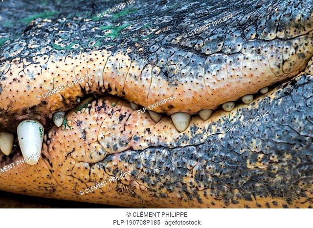 American alligator / gator / common alligator (Alligator mississippiensis) close-up of closed snout showing teeth and jaws' hollows