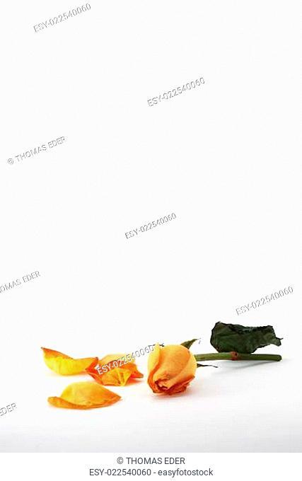 orange rose mit bluetenblaetter hoch