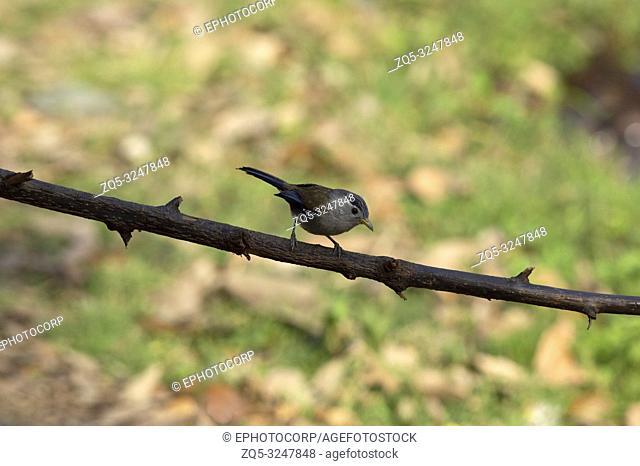 Blue winged Siva, Minla cyanouroptera, Sattal, Nainital, Uttarakhand, India