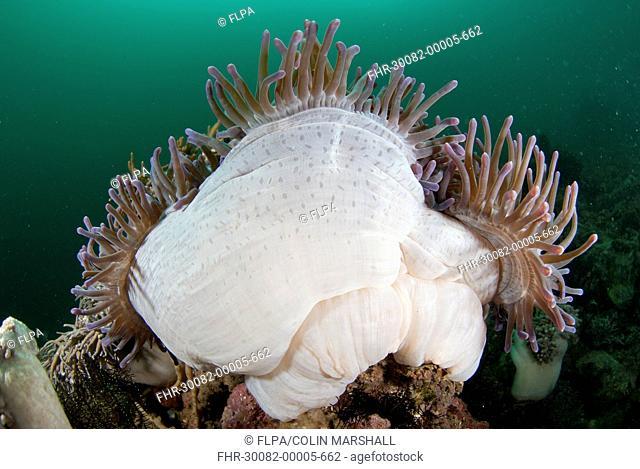 Magnificent Sea Anemone (Heteractis magnifica) adult, with tentacles extended, Kalabahi Bay, Alor Island, Alor Archipelago, Lesser Sunda Islands, Indonesia