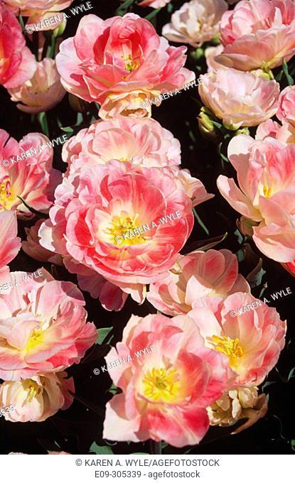 Angelique Peony Tulips. White River Gardens. Indianapolis. Indiana. USA