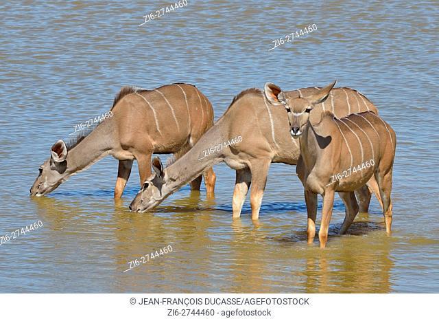 Greater kudus (Tragelaphus strepsiceros), drinking at a waterhole, Etosha National Park, Namibia, Africa