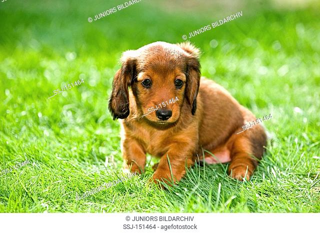 long-haired miniature dachshund dog - puppy on meadow restrictions: animal guidebooks, calendars