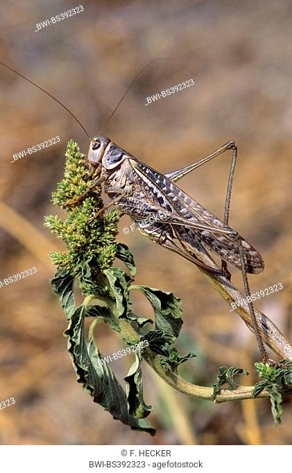 wart-biter, wart-biter bushcricket (Decticus verrucivorus), female with long ovipositor, Germany