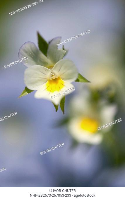 Field Pansy,Viola arvensis growing within Linseed crop, Southern Great Britain