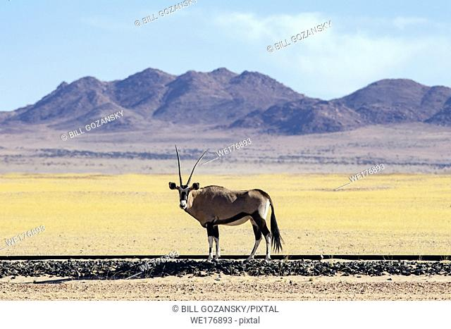 Gemsbok or Oryx (Oryx gazella) on railway near Aus, Namibia, Africa
