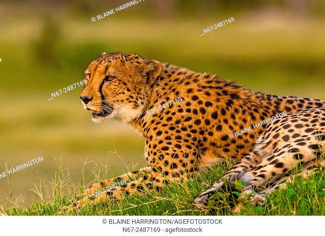 Cheetah on a mound, near Kwara Camp, Okavango Delta, Botswana
