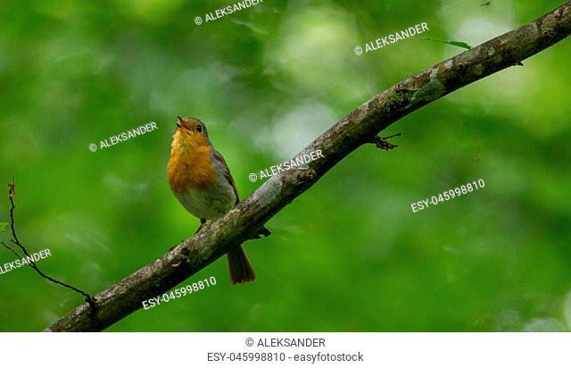 European robin (Erithacus rubecula) holding food against green fuzzy background in summer, Podlasie Region, Poland