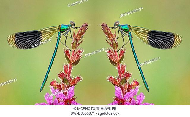 banded blackwings, banded agrion, banded demoiselle (Calopteryx splendens, Agrion splendens), sitting on loosestrife, covered with dew, Switzerland