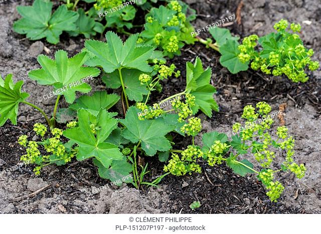 Lady's mantle (Alchemilla mollis) in flower, native to southern Europe