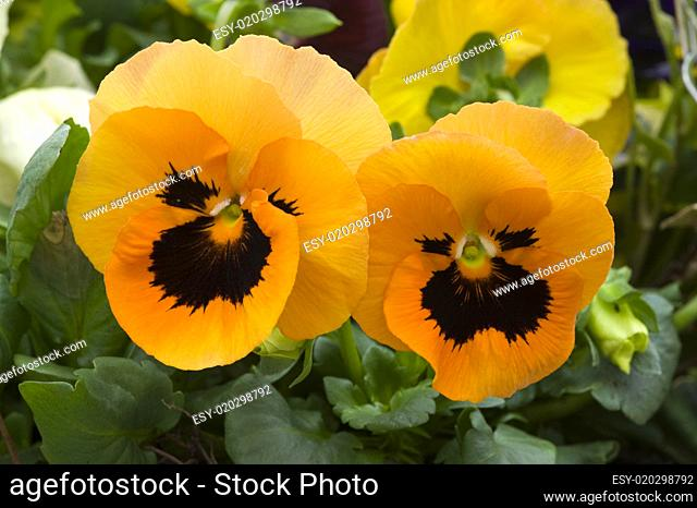 orange pansy flowers