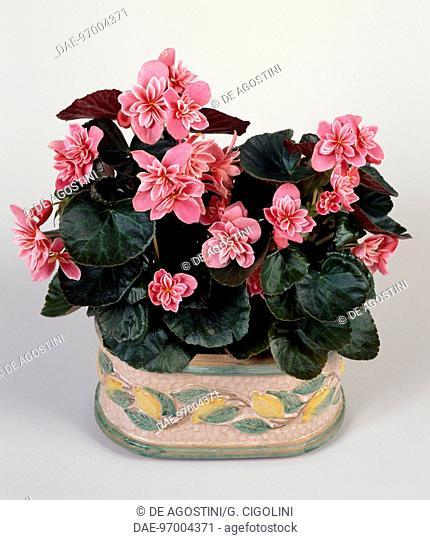 Begonia (Begonia elatior Ceveca), Begoniaceae