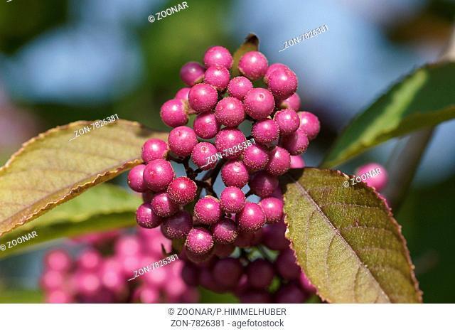 Callicarpa bodinieri, Schönfrucht, Beautyberry
