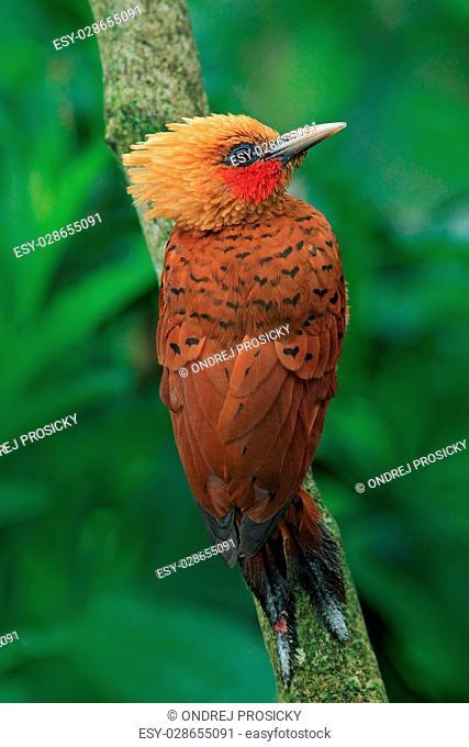 Chestnut-coloured Woodpecker, Celeus castaneus