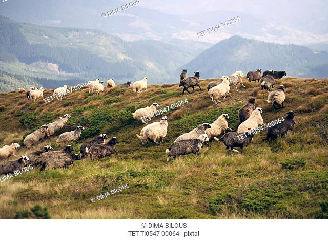 Flock of sheep in the Carpathian Mountain Range
