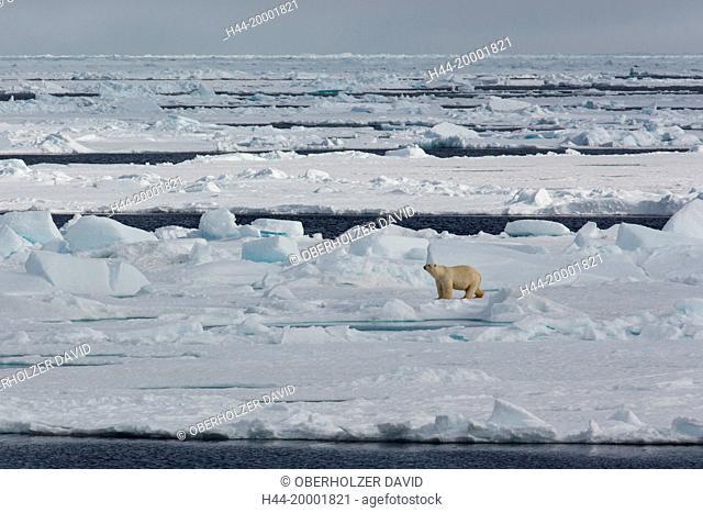 Spitsbergen, ice, polar bear