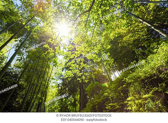 Batumi, Georgia. Spring Sun Shining Through Canopy Of Tall Trees Bamboo Woods. Sunlight In Tropical Forest, Summer Nature