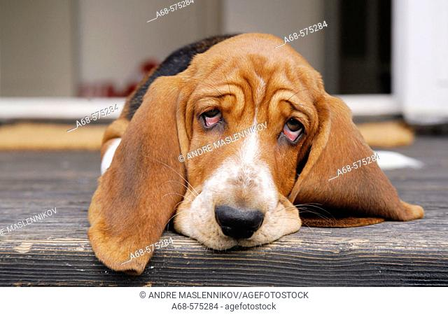 A Basset pup on the stairs in front of the door