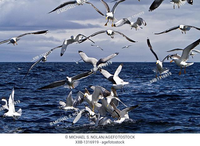 Gull feeding frenzy on baitball off Fugloy Island in the Faroe Islands, North Atlantic Ocean  MORE INFO Hundreds of gulls plunge-diving on spawning sand eels at...