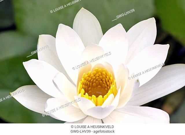 WHITE WATER LILY NYMPHAEA LOTUS