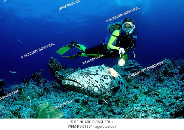 Potato grouper and scuba diver, Epinephelus tukula, Indian ocean Andaman sea, Burma Myanmar Birma