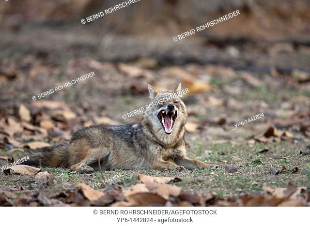 yawning Golden jackal Canis aureus lying on forest soil, Kanha National Park, Madhya Pradesh, India