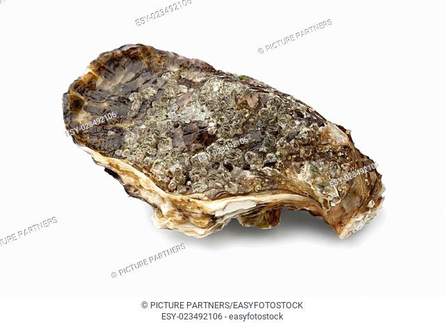 Single fresh raw pacific oyster on white background