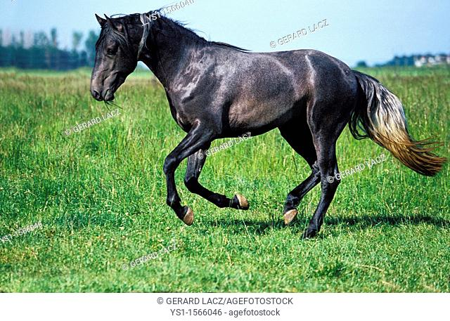 Lusitano Horse, Adult Galloping through Meadow