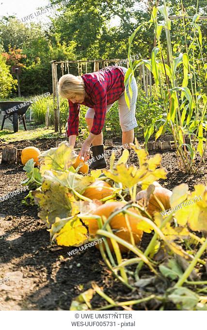 Senior woman in garden harvesting pumpkins
