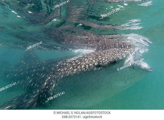 Young whale shark, Rhincodon typus, underwater at El Mogote, Baja California Sur, Mexico