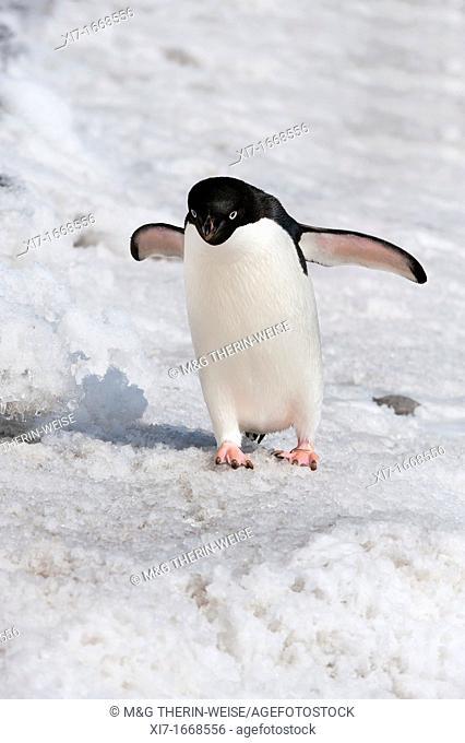 Adelie Penguin Pygoscelis adeliae, Paulet Island, Erebus and Terror Gulf, Antarctic peninsula