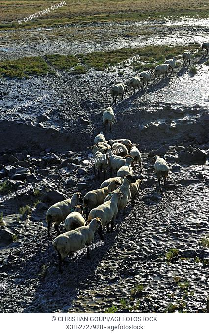 sheep in the salt marsh meadows (pré salé) of the Mont-Saint-Michel bay, Manche department, Normandy region, France, Europe