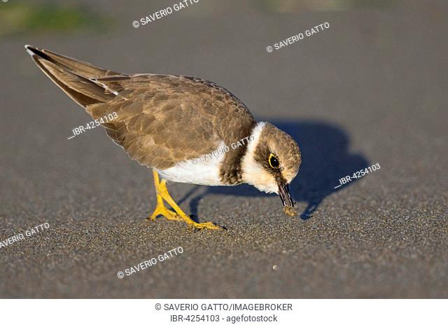 Little Ringed Plover (Charadrius dubius), fledgling, feeding on worm, Campania, Italy