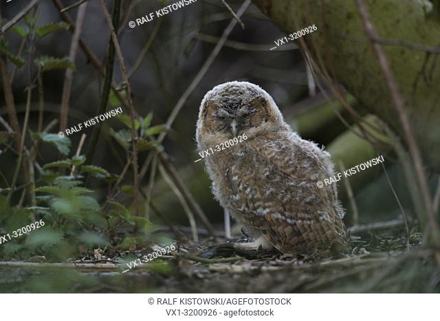 Tawny Owl (Strix aluco), very young fledgling, hiding in the undergrowth of a forest, sleeping, closed eyes, threatened by raptors, wildlife