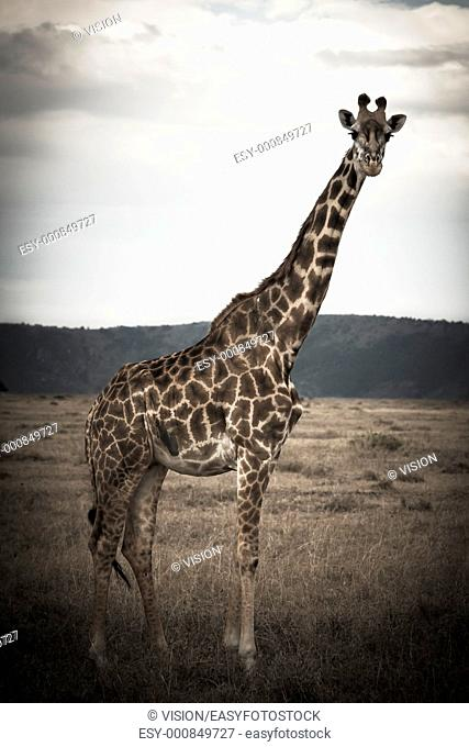 giraffe in the masai mara reverse in kenya africa
