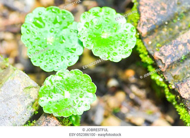 water pennywort plant or hydrocotyle umbellata