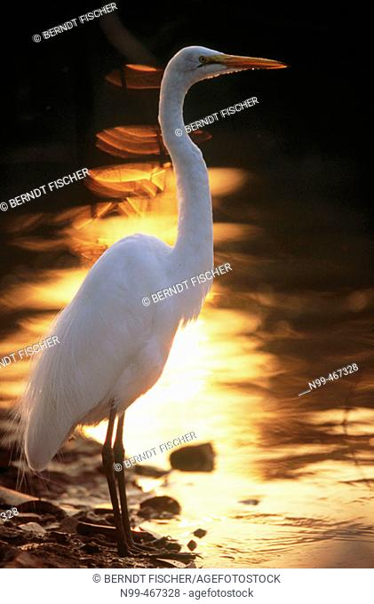 Great white egret (Egretta alba) standing on a river bank. Sunset reflection in the water of Pixaim river. Pantanal near Poconé. Pantanal. Mato Grosso