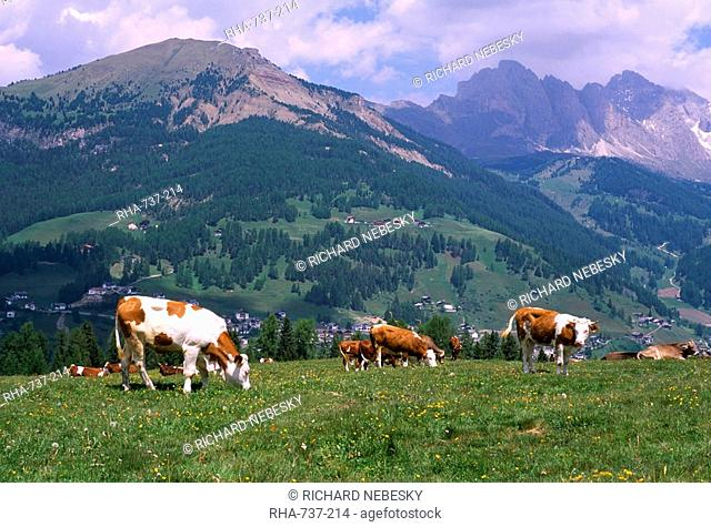 Cows grazing at Monte Pana and Leodle Geisler Odles range in background, Val Gardena, Dolomites, Alto Adige, Italy, Europe