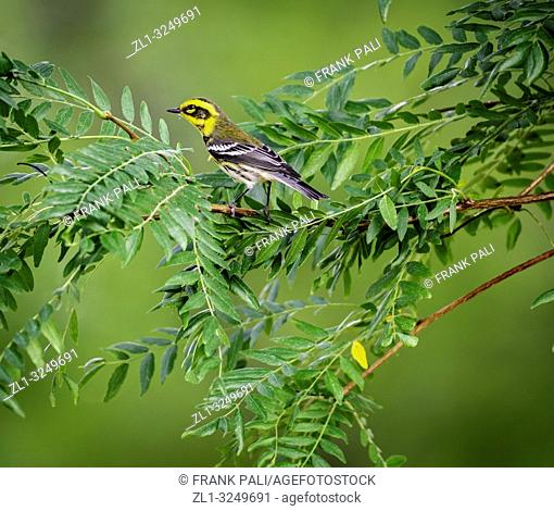 Townsend's warbler (Setophaga townsendi) is a small songbird of the New World warbler family