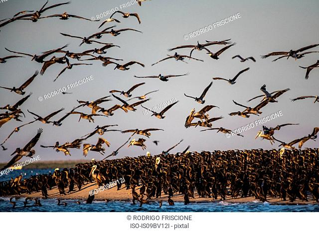 Flocks of brown pelicans feeding on fisherman's scraps