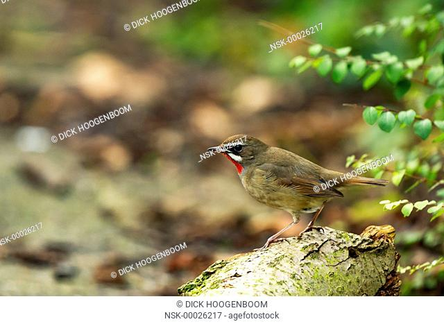 Siberian Rubythroat (Luscinia calliope) resting on a branch, The Netherlands, Noord Holland