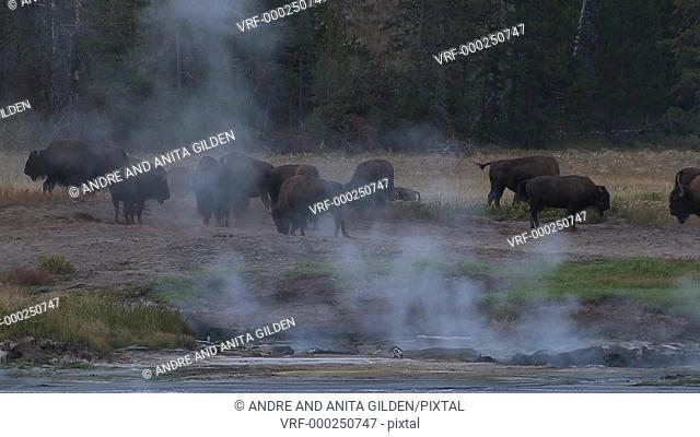 Buffalo (Bison bison) and thermal pool