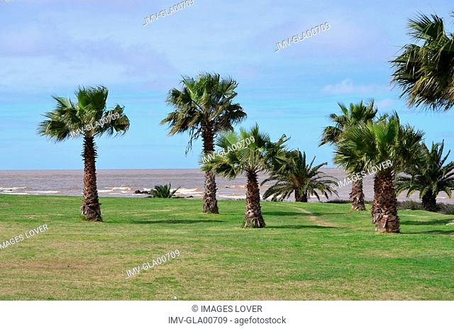 Close view of Palm Tree, Montevideo, Uruguay
