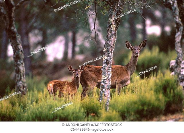 Red deer (Cervus elaphus). Mother and young. Los Alcornocales. Cadiz. Spain