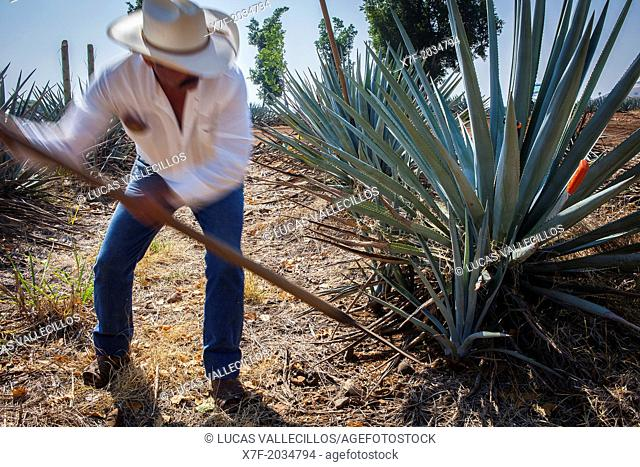Harvesting Agave.plantation of blue Agave in Amatitán valley, near Tequila City, Guadalajara, Jalisco, Mexico