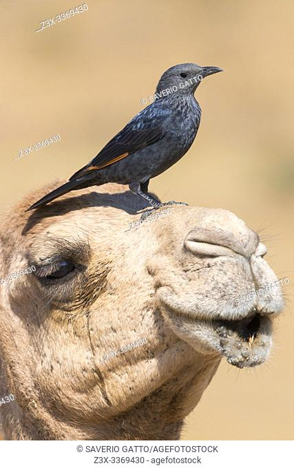 Tristram's Starling (Onychognathus tristramii), side view of an adult female standing on the head of a Dromedary Camel