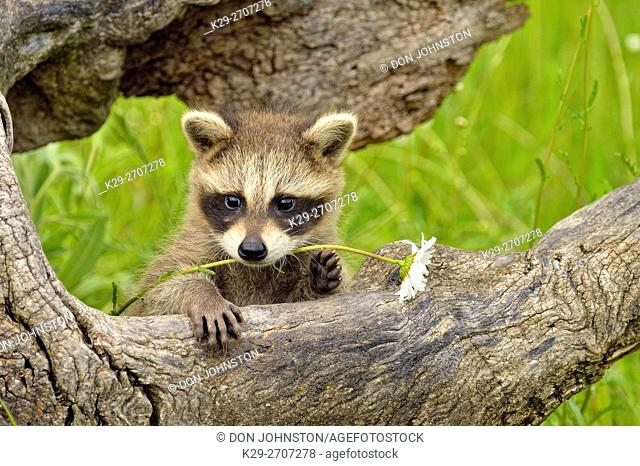 Raccoon (Procyon lotor) Baby exploring old stump, captive, Minnesota wildlife Connection, Sandstone, Minnesota, USA